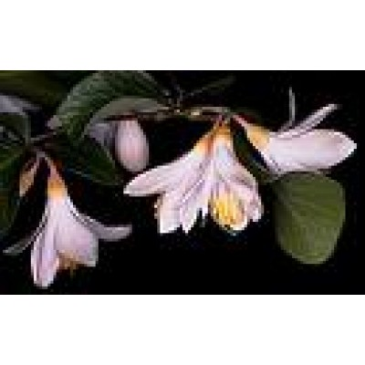 Benzoin Essential Oil 10ml