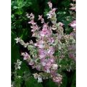 Clary Sage Essential Oil 10ml