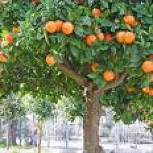 Orange Essential Oil 10ml