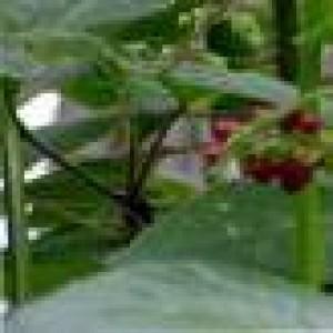 Patchouli Cablin Essential Oil 10ml
