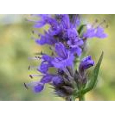 Hyssop Essential Oil 10ml